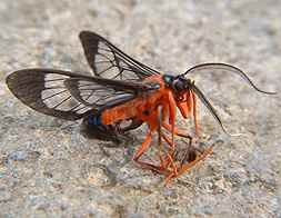Montezuma Red Flying Bug