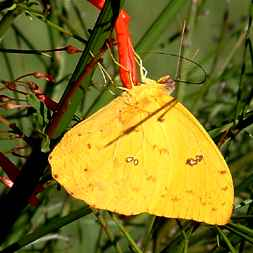 Costa Rica Yellow Butterfly