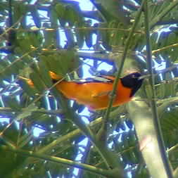 Baltimore Oriole in Montezuma