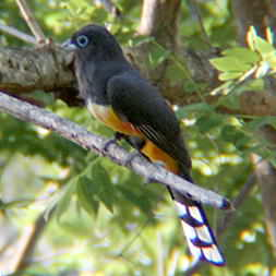 Black Headed Trogon in Montezuma