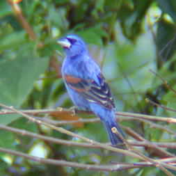 Blue Grossbeak in Montezuma