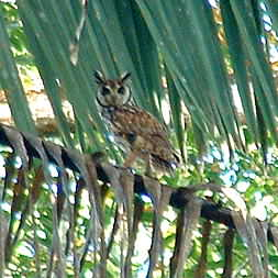 Tropical Screetch Owl