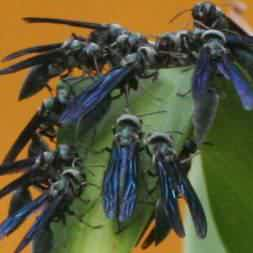 Costa Rica Blue Wasps