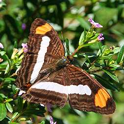Brown Butterfly with orange bars