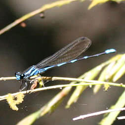 Bright Blue Dragonfly from Delicias, Montezuma