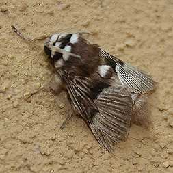 Yet another fuzzy moth
