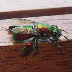 Metallic fly or bee