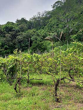 Costa Rica vineyards