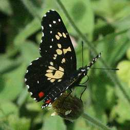 A common spotted black butterfly in the Montezuma area
