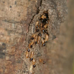 Montezuma termite road - two types of termites shown