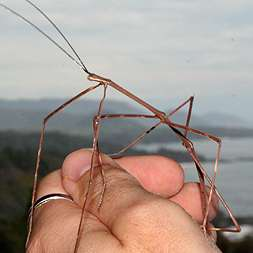 Costa Rica Walking Stick Insect