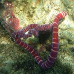 pink tube worms