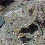 Very well camofllaged crab that lives in the tidepools. Almost invisible unless it moves.