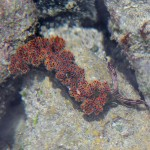 Nudibranch in Playa Hermosa Tidepool