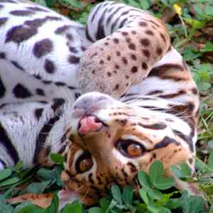 ocelot in paquera