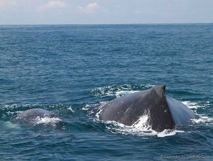 Mother and baby whale in Costa Rica