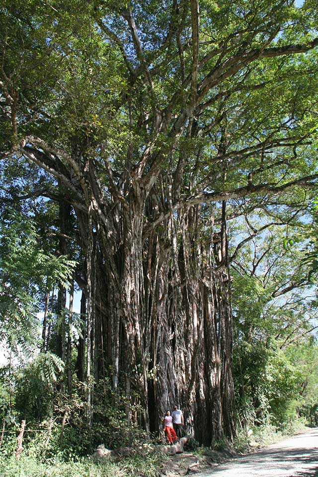 The biggest tree in Costa Rica?