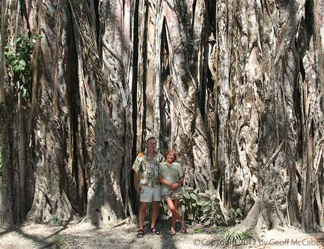 giant higueron tree in cabuya