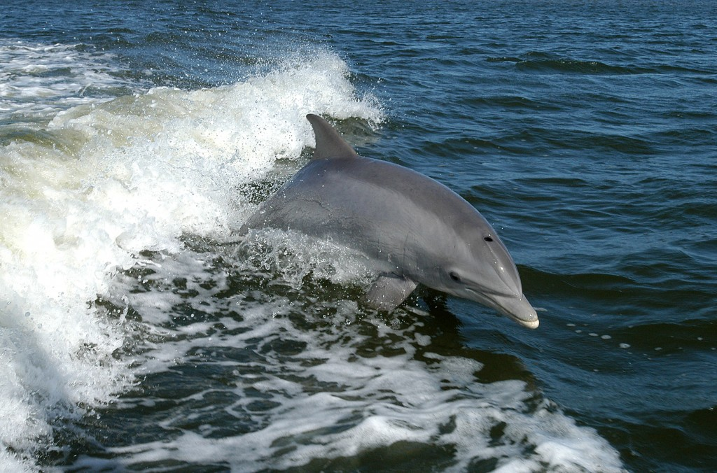 Bottlenose dolphins in Costa Rica