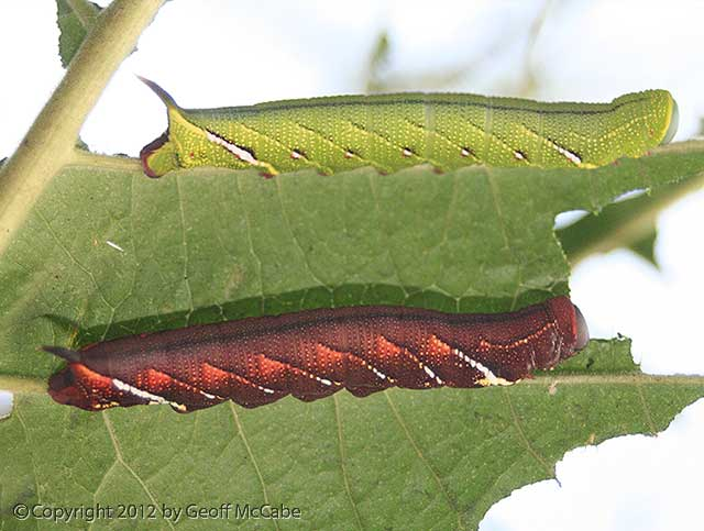 This green caterpillar is a master of blending into the jungle, but turns bright red later in life as it grows, as shown here.