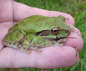 Cute green rainforest frog in my hand
