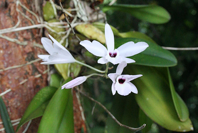 Wild Orchid from the Montezuma area