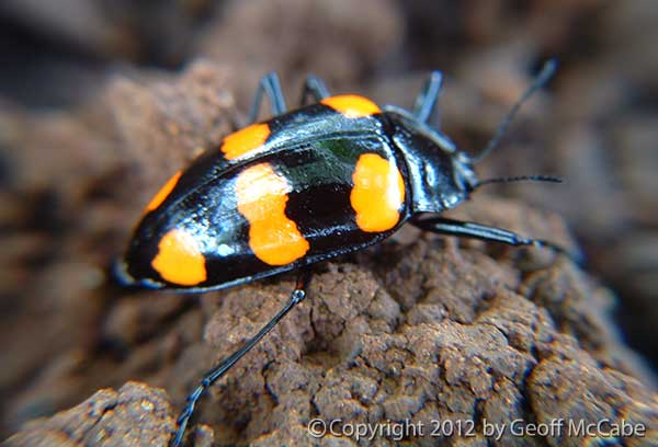 Cute black beetle with orange spots