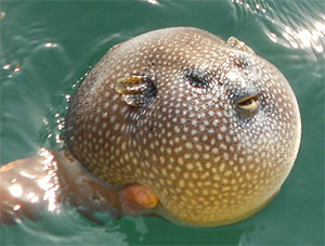 Smooth puffer fish found in Tortuga