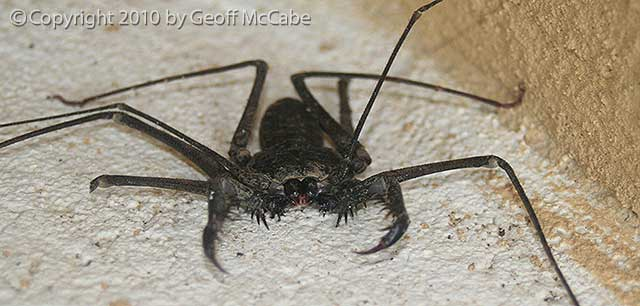 tailless-whip-scorpion
