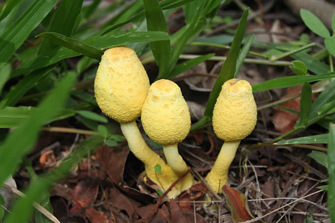 Yellow tropical mushrooms in Costa Rica