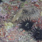 Sea Urchins and camouflaged sea slug