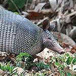 Armadillo in the Southern Nicoya Peninsula