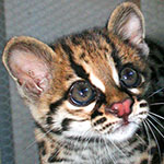Margay jungle cat