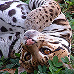 Ocelet - a medium sized wild cat of the Costa Rica jungles