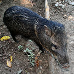 Peccary - Wild Pigs of Costa Rica