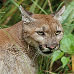 Puma - Cougar - Mountain Lion