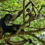 Spider Monkeys
