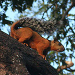 Montezuma Squirrel