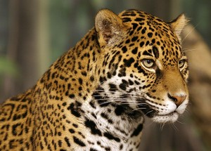 Jaguar Adult