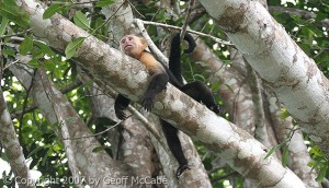 White Faced Capuchin Monkey Costa Rica