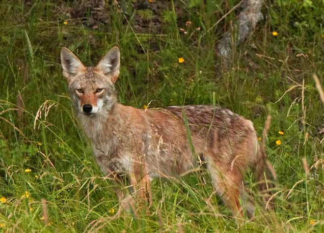 Coyote in Costa Rica