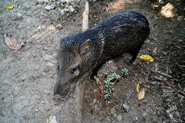 Peccary of Turtuga Island